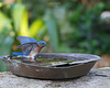 Bird-bluebird2
