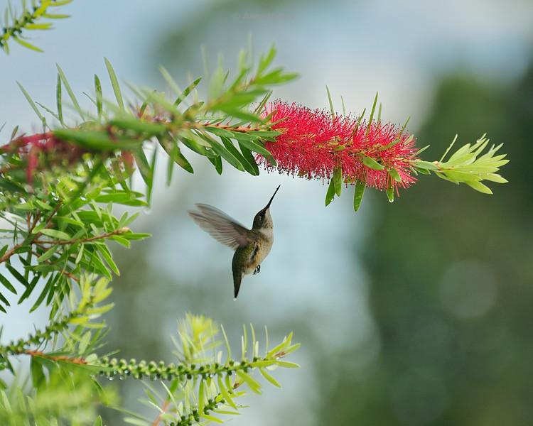 hummingbird-riseup