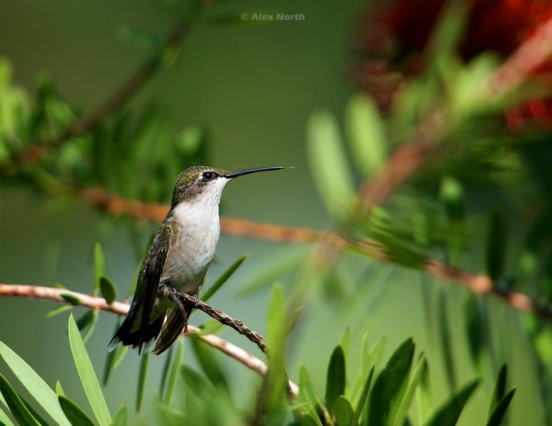 hummingbird-perch
