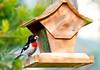 Bird-RoseBreastedGB-8x12
