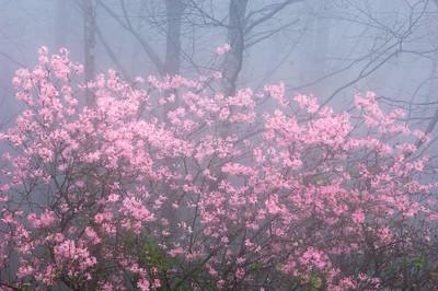 Wild Azalea-Pinxter Flower-Rhododendron Periclymenoides-  Rhododendron Nidiflorum