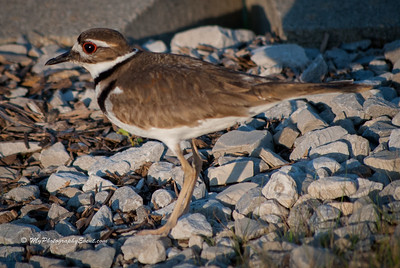 Killdeer Bird