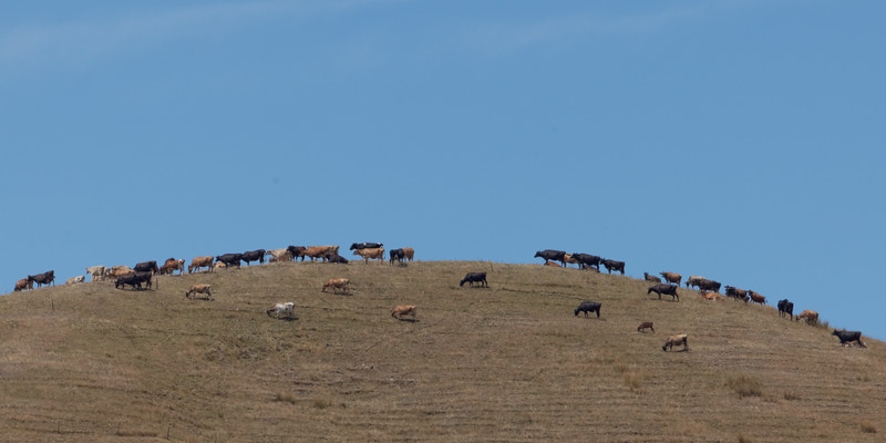 Waikato Cattle Country