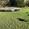 """Our next day in Blenheim was no less of a highlight then Day 1 as we got to visit a Private Farm where we enjoyed a """"Sheep Dog"""" experience where we saw the dogs control the sheep... it was for sure a Unique & Memorable experience!!"""