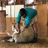 """The """"Sheep Shearing"""" demo was quite impressive too... amazing how much wool can come off of one sheep!! :-)"""