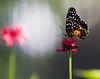 butterfly_3436