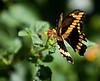 butterfly_3421