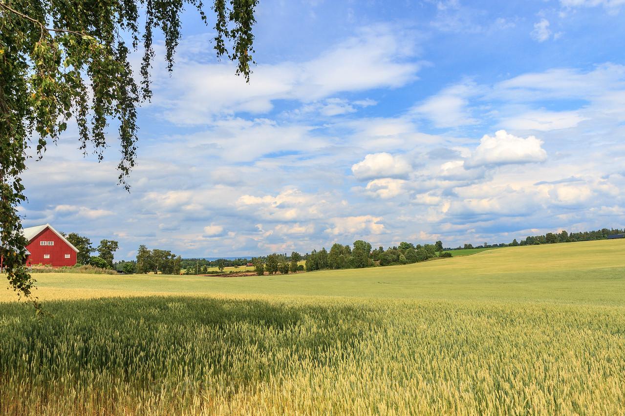 Vårhveteåker på Ringnes gård