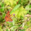 Hvit c sommerfugl