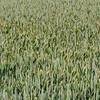 Ellvis høsthvete