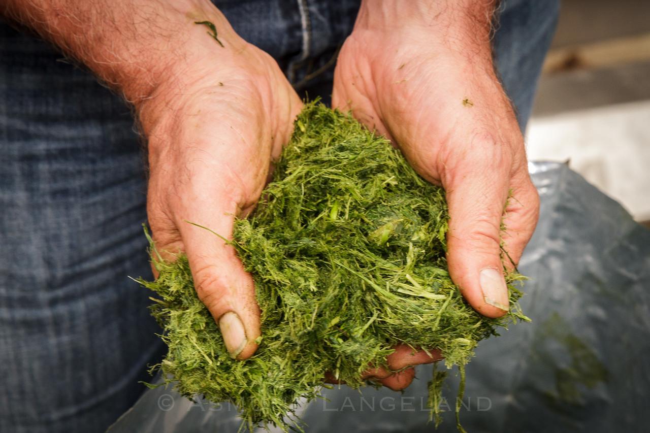 Trevlerik pressrest etter at vannet er presset ut av graset