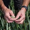 Inspeksjon av årets høsthvete