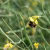Humle pollinerer vårraps