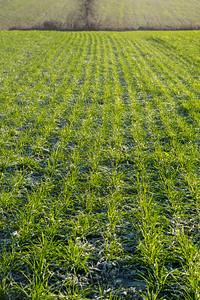 Innvintring av høstkorn