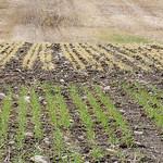 Rugvete og h�stbygg med uli overvintring