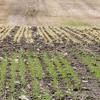 Rugvete og høstbygg med uli overvintring