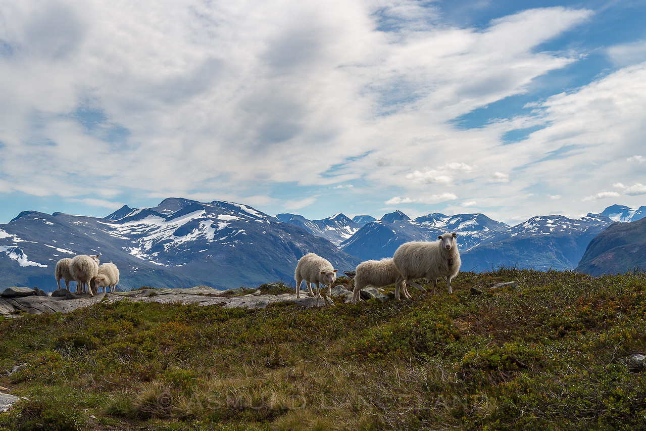 Søye med lam