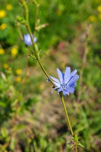 Blomster av Sikori