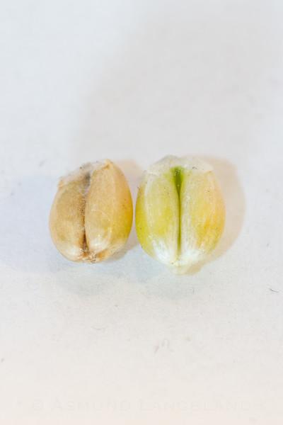 Bukfure på vårhvete