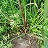 Hønsehirse (Echinochloa crus-galli)