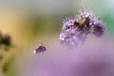 Humle på honningurt