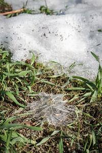Snømugg (Fusarium nivale) i rug
