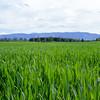 Høsthveteåker