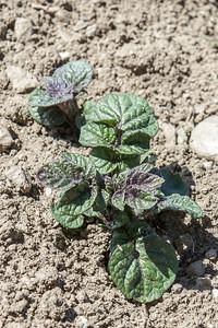 Potetplante