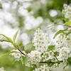 Blomstrende hegg