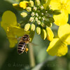 Bier pollinerer høstraps