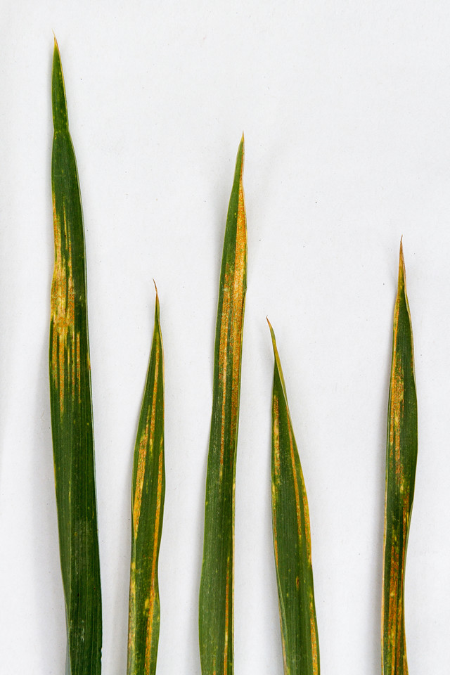 Gulrust i høsthvete