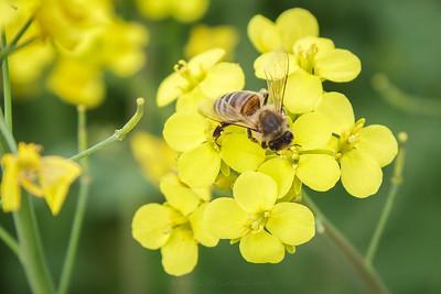 Honningbie pollinerer raps