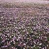 Carnia, Sauris di Sopra, Flowers blooming (Crocus vernus) in spring