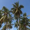 08.03.2013, Dominikanische Republik, Halbinsel Samana, Ort: Las Terrenas. Kokospalmen