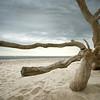 Umgestürzter entrindeter Baum am Weststrand auf dem Darß