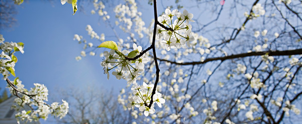spring trees - blossoms - New Jersey