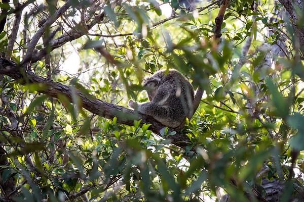 Caught Napping (Koala)