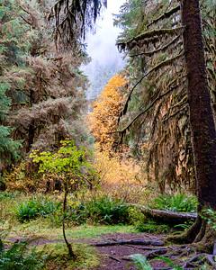 Hoh Rain Forest, Olympic National Park, Washington