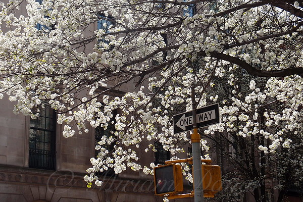 Puffy White Blossoming Tree - Springtime in New York City