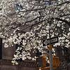 Puffy White Blossoming Tree
