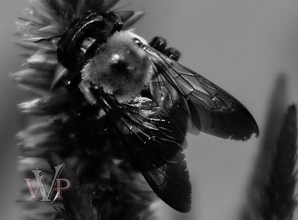 Bee (B/W)