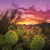 Prickly Pear Sunrise