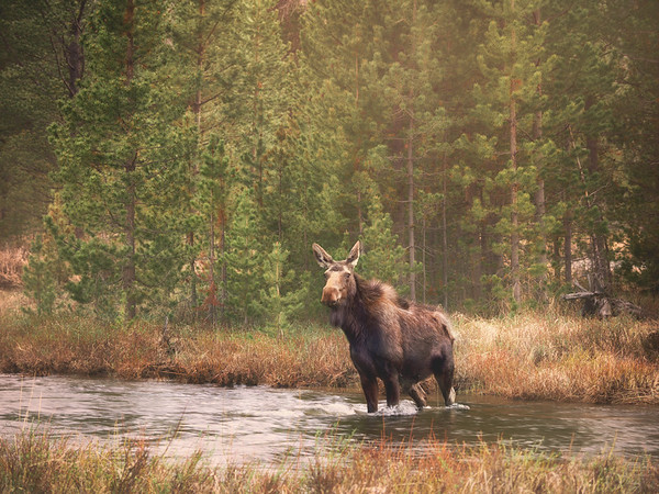RIver Crossing Moose