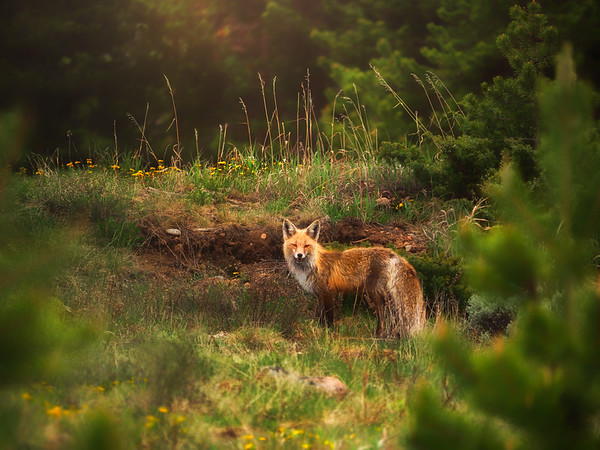Grand Fox