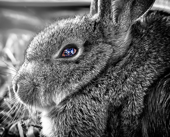 Bunny Eye Reflections