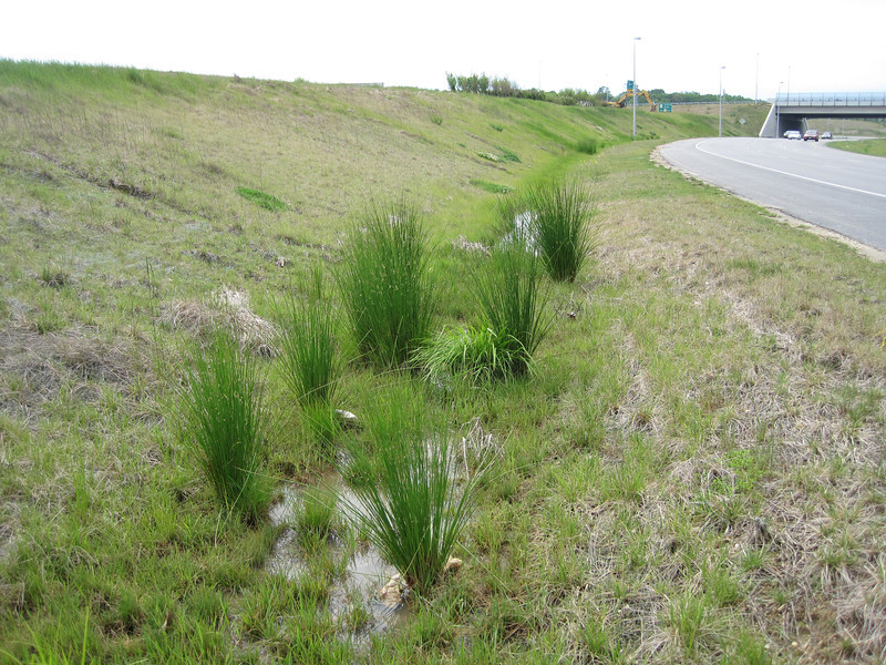 Native rush volunteers.  Fairfax County Parkway extension 4 May 2012