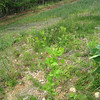 Native pokeweed, sycamore, cottonwood volunteers.  Fairfax County Parkway extension 4 May 2012