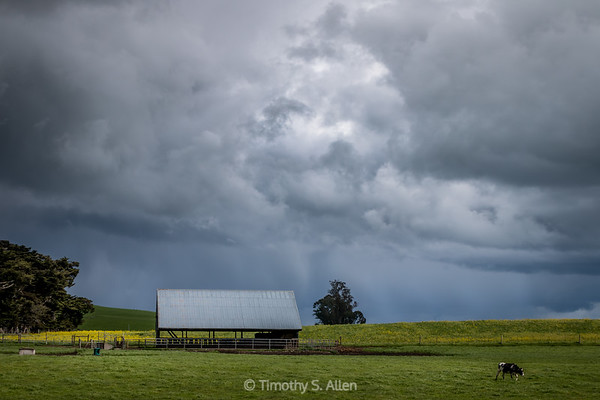 Unsettle Skies Over a Cow and Barn