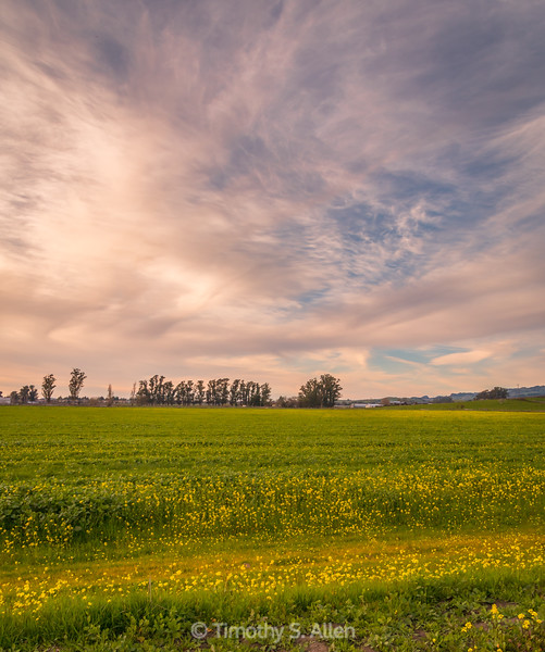 Late Afternoon and a Field of Mustard