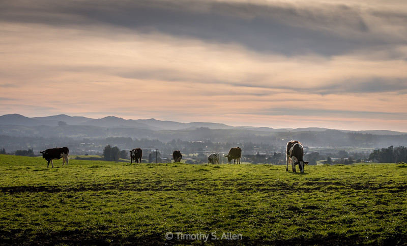 Cows Grazing in the Late Afternoon